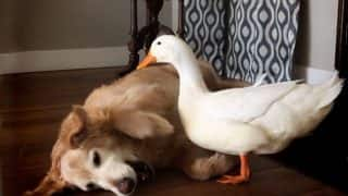 This dog and duck have become the best of friends and are in a 'love-hate' relationship (Watch cute Video)