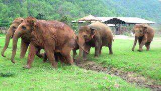 Herd of elephants running to greet rescued baby elephant in Thailand is so adorable! (Watch Video)