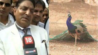 राजस्थान HC के जज ने गाय की तरह मोर को भी बताया पवित्र, कहा- मोर के आंसू पीकर मोरनी होती है गर्भवती
