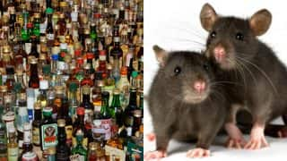 Rats in Bihar are alcoholics, drink over 9 lakh litres of seized alcohol, claims police!