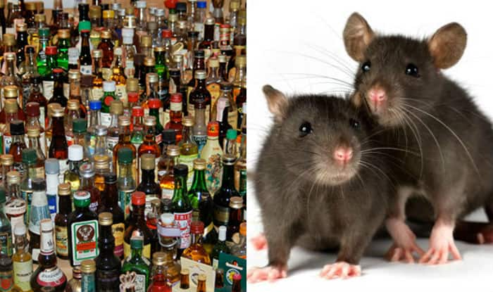 Rats Drink Alcohol In Bihar