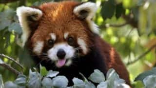 Conservationists Satellite  Detect 'Exciting Data' After Fitting GPS Collars to Endangered Red Pandas Near Mt Kangchenjunga