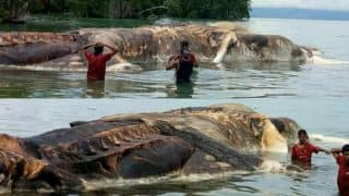 Giant Squid or Sperm Whale? Pictures of Monstrous Sea Creature Washes up on Indonesia's Shore Goes Viral