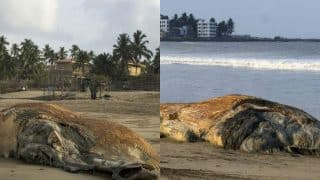 Whale carcass found in two halves at Mumbai beach: See pictures of 45-ft beast called as largest mammal to wash ashore