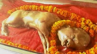 Holy Cow! Calf born with human face hailed as Lord Vishnu avatar and worshipped at Muzaffarnagar in UP! See pictures