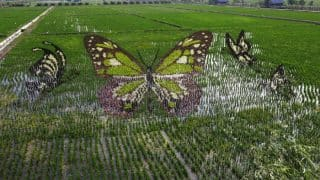 Farmers in China turn into artists to create amazing 3D paintings in rice paddies (See Pictures)