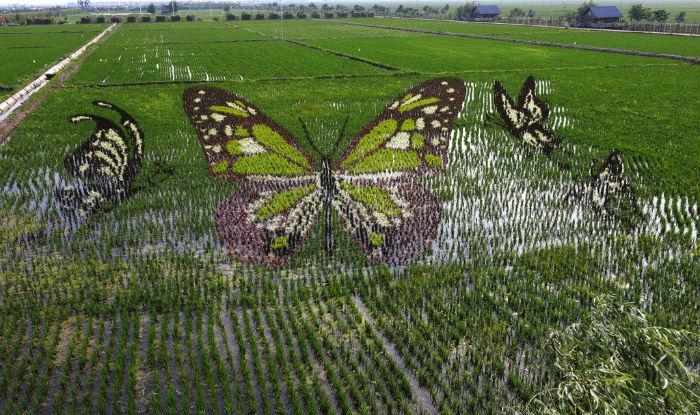 China Rice Paddies butterfly
