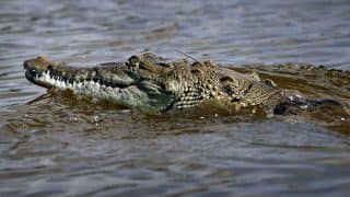 Australian man tries to have sex with crocodile after being high on illicit drug, feared dead