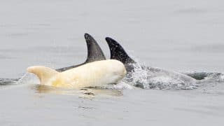 Rare albino baby dolphin spotted off California Coast, internet is in love with the stunning pictures