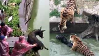 Shocking! Tigers fed live donkey at Chinese Zoo as visitors witness cruel act in horror (Watch Video)