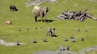 Baby elephant falls on his face while playing with birds, runs to mommy! Watch hilarious video
