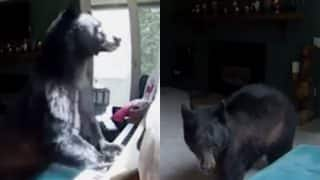 Bear breaks into home in Colorado, US and trashes the place! Watch video of the bear playing piano