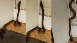 Forest Officials Rescues 110 Baby Cobras And Two Adult Cobras From Labourers House in Odisha