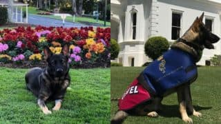 Police Dog in Australia fired for being too friendly! See cute video of German Shepherd on a much better job