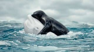 Viral Picture of whale hugging seal is Fake? Beluga and fur seal's moment of love is too good to be real