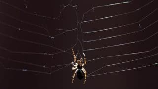 Scientists Name Seven New Spider Species Found in Brazil After Famous Spiders in  Pop Culture; Includes Game of Thrones, Harry Potter and Lord of The Rings