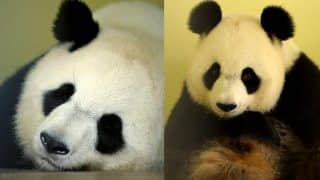 French Zoo Announces First Panda Pregnancy Ever! Giant Panda Huan Huan is Likey to Give Birth in August!
