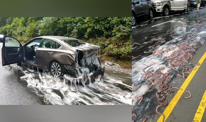 Truck Carrying Eels Overturns On Highway Spills Slime On