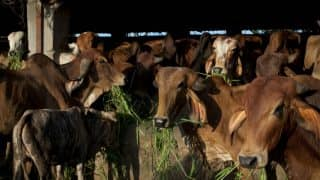 Kalka-Shatabdi Express Mows Down 20 Cows Near Narela in Delhi