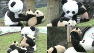 Zoo Keeper Wears Giant Panda Costume While Interacting With Cubs, Isn't That The Best Job In The World? (Watch Video)