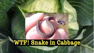Bizarre! Woman and Teenage Daughter Accidentally Eat Snake with Cabbage, Admitted in Indore Hospital