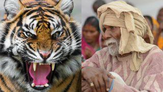 Aged Parents Sent in Forests as Tiger Prey in Uttar Pradesh Villages to Claim Huge Govt Compensation
