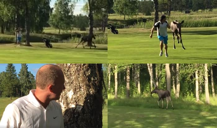 Moose chases golfer around on course!