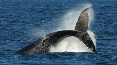 Whale Ambergris: बेशकीमती होती है व्हेल मछली की उल्टी, जानें क्यों करोड़ों में बिकता है यह