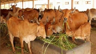 First Meeting of Madhya Pradesh Government's 'Cow Cabinet' To Be Held Today