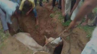 कब्रिस्तान के गड्ढे में गिरी गाय, मुस्लिमों ने बचाई जान