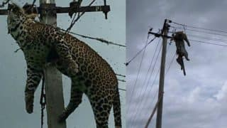 Leopard Gets Electrocuted in Telangana! Shocking Pictures of Dead Wild Animal Hanging From Electric Pole go Viral