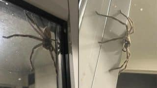 Huge Huntsman Spider Scares Australian Couple as it Appears on Their Glass Door
