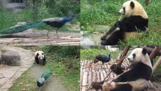 Panda and Peacock's Epic Battle in China Zoo Reminds of Po and Lord Shen's Fight from Kung Fu Panda 2 (Watch Video)
