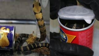 King Cobras Smuggled In Potato Chip Cans! Customs Officers in California Arrest Man Trying to Sneak Deadly Snake