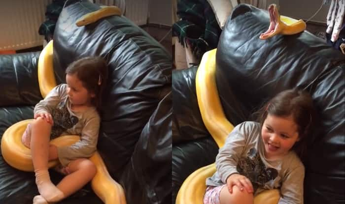 12 Feet Long Python Gives A Yawn While Watching Tv With