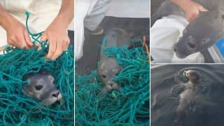 Baby Seal Got Tangled in the Fishing Net in USA; Video of the Rescued Seal Pup Goes Viral!