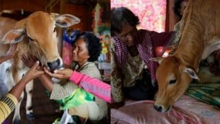 Bizarre! Cambodian Woman Khim Hang Marries Calf; Believes it is Her Reincarnated Husband!