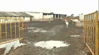 Chhattisgarh: 200 Cows Die Due to Starvation in Shelter Run by BJP's Harish Verma