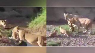 Lioness Rescues Stranded Cub, Shows A Mother's Love Is Universal (Watch Viral Video)