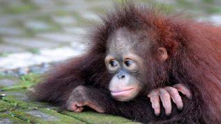 साइन लैंग्वेज सीखने वाला बंदर नहीं रहा, 39 की उम्र में कहा दुनिया को अलविदा