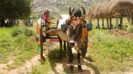 Bail Pola 2017 in India: Farmers Celebrate Nandi Worship Festival in Chhattisgarh and Maharashtra