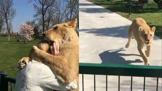 Two Lions Running To Hug Their Rescuer Is Making The Internet Erupt In Joy (Watch Video)