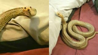 Eastern Brown Snake Caught in Australian Couple's Bedroom (See Pictures Of Highly Poisonous)