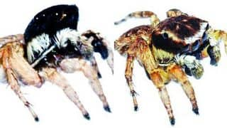 Two New Species of Jumping Spider 'Onyx' & 'Lacteus' Found in Mumbai's Aarey Milk Colony