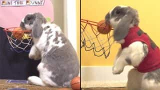 Rabbit Sets Guinness Book Of World Record For Dunking Basketballs And Even Plays Arcade Games