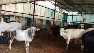 मध्य प्रदेश: 28 दिन में 58 गायों की मौत, भूसे की जांच का आदेश