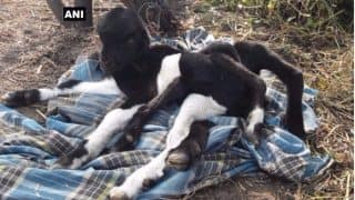 Eight-legged Baby Goat Born in Chhattisgarh: It is No Miracle but a Birth Defect (See Picture)