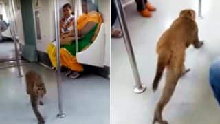 Monkey Boards Delhi Metro, Viral Video Shows It Roaming Around Like A Boss