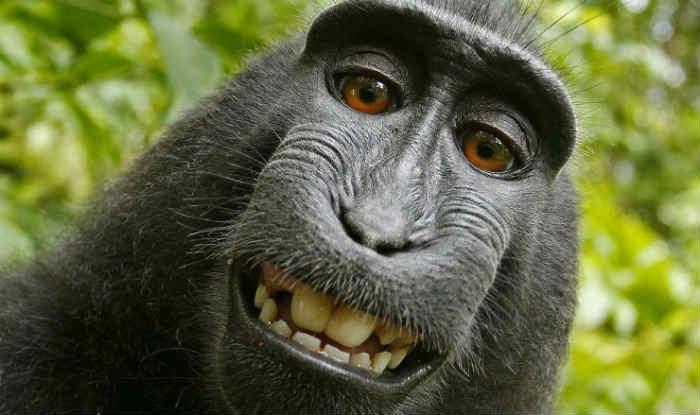 सेल्फी बंदर ने ली, अब उस पर अधिकार किसका? इस अनोखे सवाल का जवाब संघीय अपीली अदालत देती उससे पहले ही अटॉर्नी ने घोषणा कर दी...