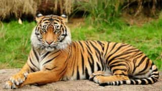 Maharashtra: Tigress That Killed 5 People Found Electrocuted in Wardha District